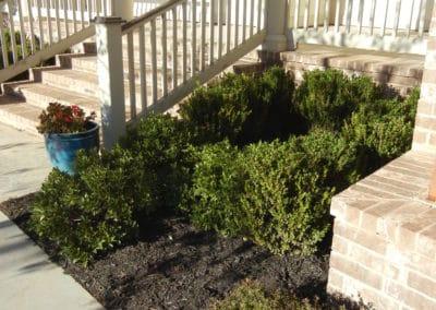 evergreenshrubswithmulch